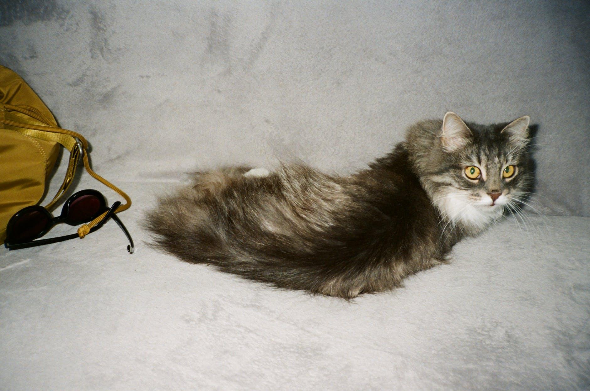 Cats' Lady Vet - Doctorita Pisicilor: Micozele Cutanate Sau Dermatomicozele Pisicilor